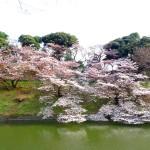 2016年/武道館周辺の花見